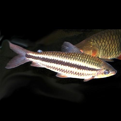 Leporinus striatus - Gestreifter Leporinus L