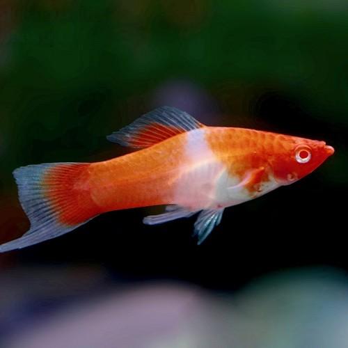 Xiphophorus helleri red eye kohaku - Streifenschwertträger koi M