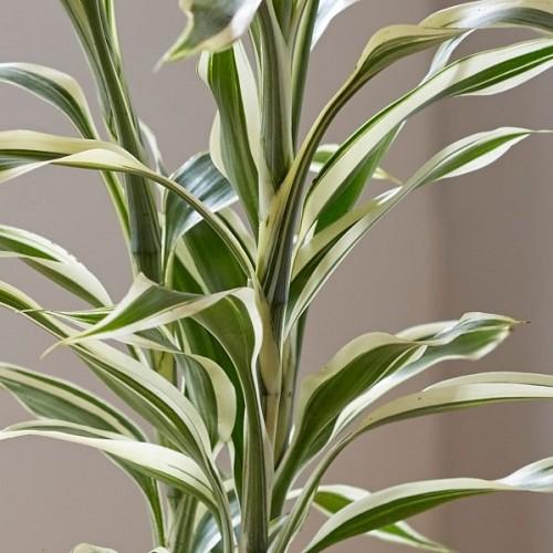 Dracena compact white-green pot