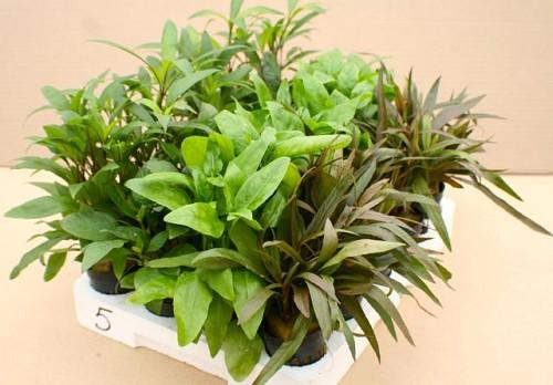 Sortiment von 4x6 Pflanzen Echinodorus