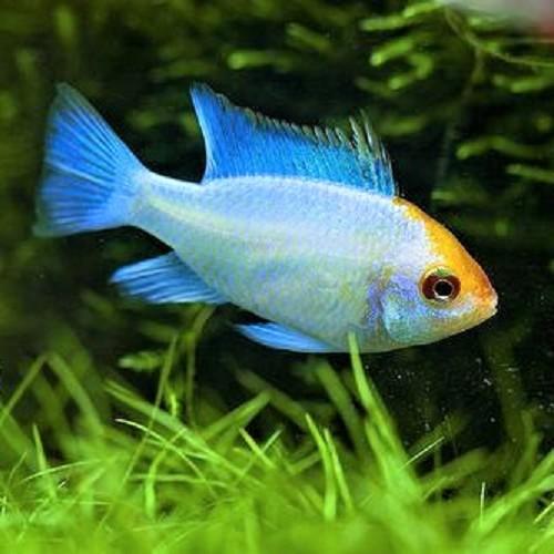 Apistogramma ramirezi electric blue gold head - Südamerikanischer Schmetterlingbuntbarsch electric blue gold head