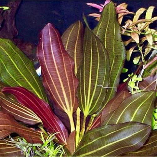 Echinodorus barthii - Barths Schwertpflanze oder Osiris doppelt rot im topf
