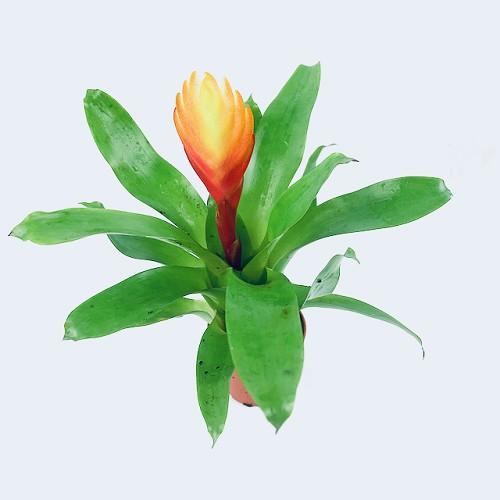 Guzmania ( Bromelia) in pot