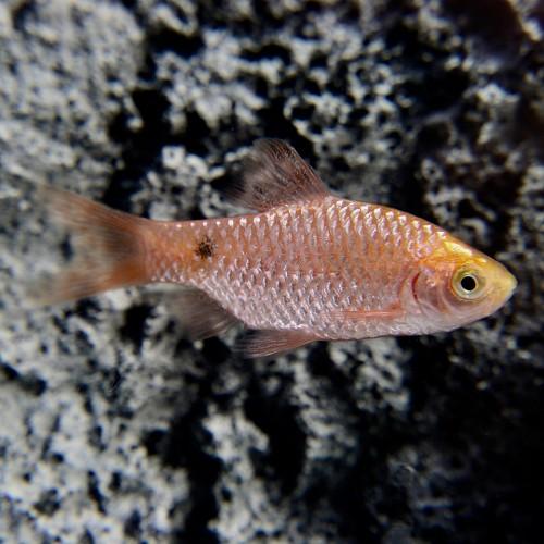 Barbus conchonius gold - Pragtbarbe gold XL