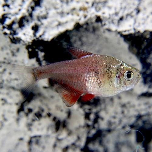 Hyphessobrycon flammeus sp.diamant - Roter von Rion sp. diamant M