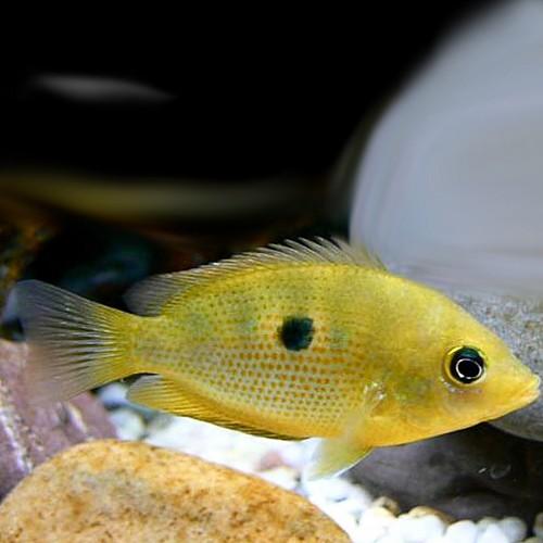 Etroplus maculatus gold - Indischer Buntbarsch gold M