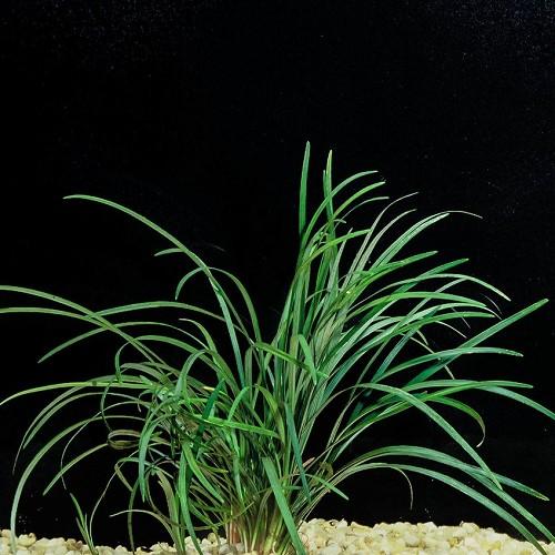 Ophiopogon japonica - Japanischer Schlangenbart im topf