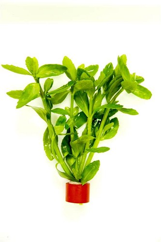 Bacopa amplexicaulis - Kleines Fettblatt im bio-ring