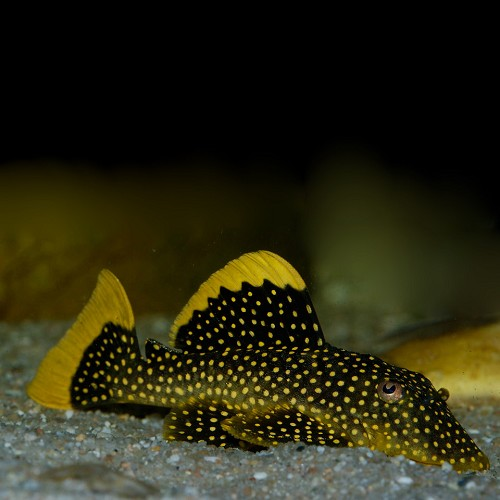 Baryancistrus xanthellus L177 - Golden Nugget Pleco sp. L177 M