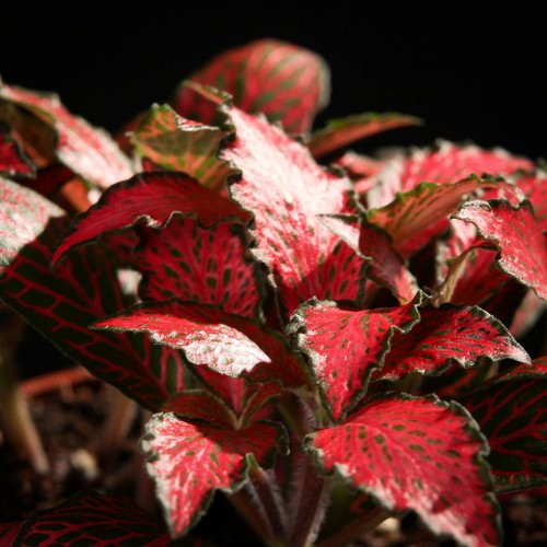 Fittonia forrest flame - Mosaikpflanze, rot im topf