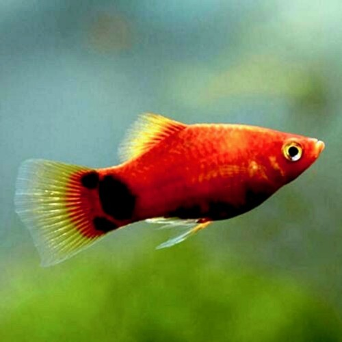 Xiphophorus maculatus - Platy Micky Mouse Rot M