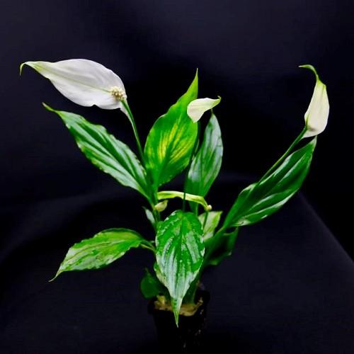 Spathiphyllum wallissi - Scheidenblatt im topf