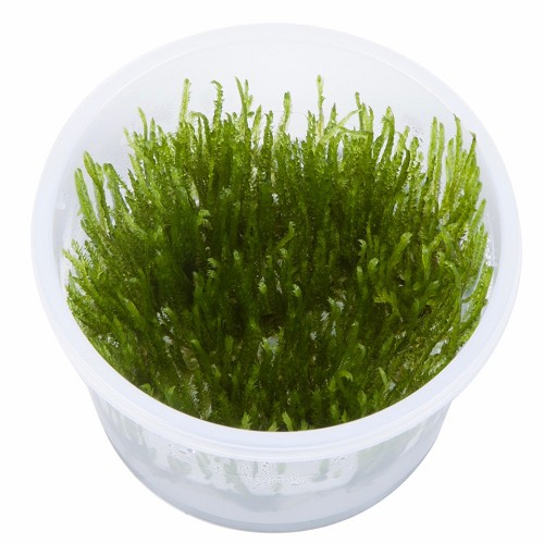 Spiky moss in cup 100 ml.