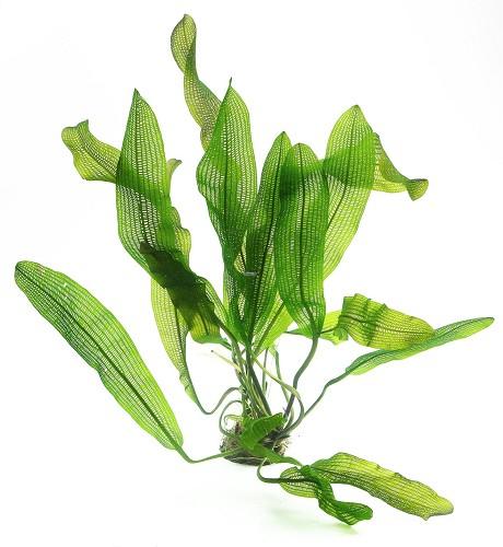 Aponogeton fenestralis (madagascarensis) - Gitterblattpflanze knollen