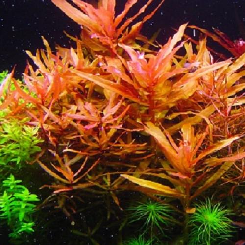 Ammania senegalensis - Kognakpflanze im topf